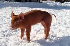 (LisaNH) Tags: pig farm piglet minerva tamworth