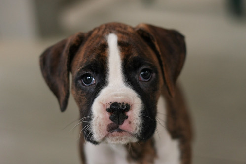boxer puppies wallpaper. Boxer puppy