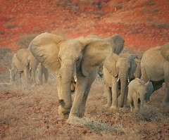 Desert elephant matriarch charging (Olivier DELAERE) Tags: africa wildlife deserts threatenedspecies potofgold naturesfinest damaraland 333views vunerable loxodontaafricana blueribbonwinner desertelephants supershot specanimal redlisted animalkingdomelite mywinners abigfave platinumphoto onlyyourbestshots superbmasterpiece firsttheearth iucnredlist megashot incrediblenature theunforgettablepictures naturewatcher excapture thegoldendreams tup2 trueessence photoexel atqueartificia