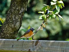 Piepmatz (Makroworld) Tags: berlin deutschland tiere natur vögel garten piepmatz makroworld vgel