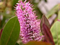 Veronica (cmramirezl) Tags: pink flower flor rosa veronica murcia santiagodelaribera