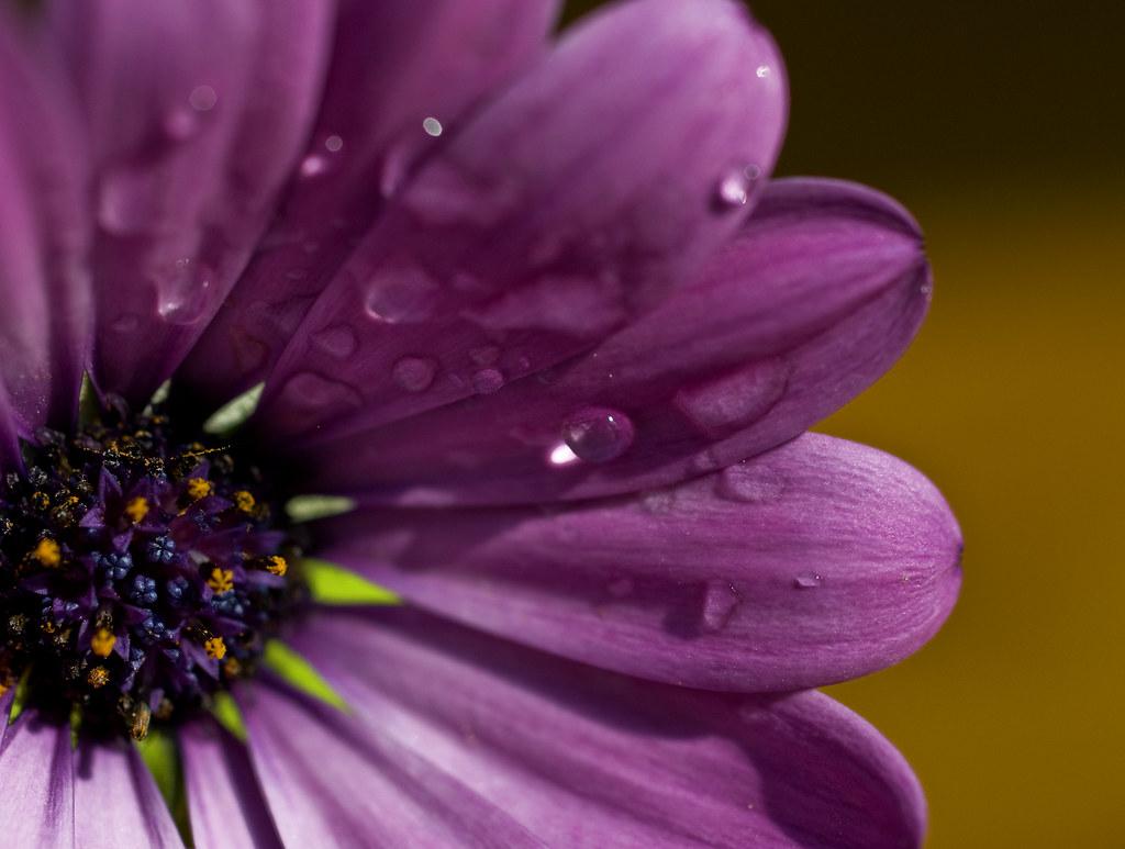 macro daisy 1