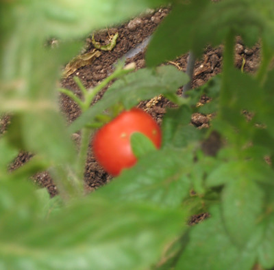 Another ripe tomato