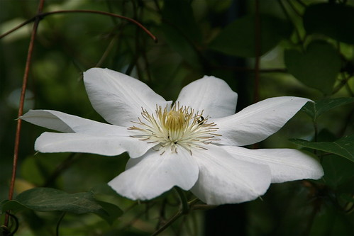 A white clematis