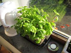 Basilicum: creixent (Xesc) Tags: basilicum plantes insulindeweg hortet