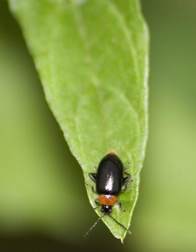 flea beetle Disonycha xanthomelas (1)