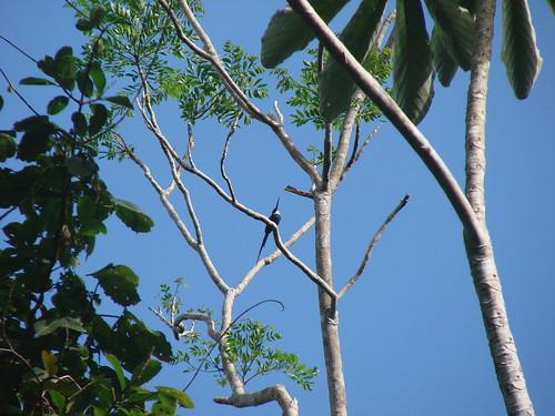 paradise jacamar Guyana 2007 412