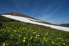 雪渓とミヤマキンバイ