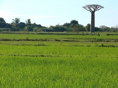 baobab over rice fields (daniel.virella) Tags: people countryside rice madagascar baobab morondava menabe adansoniagrandidieri