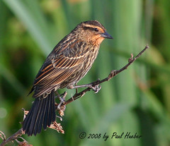 Red-winged Blackbird female (Agelaius phoeniceus) (Paul Hueber) Tags: park lake bird nature birds canon lotus florida wildlife aves ave handheld blackbird avian seminolecounty redwingedblackbird altamontesprings agelaiusphoeniceus centralflorida lakelotus lakelotuspark rwbl musicarver