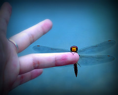 come n say 'hello' to my new friend (linh.ngan) Tags: pink blue mountain nature rain work bug insect hand dragonfly ring rest odonata sonla