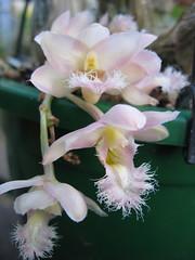 Catasetum 'Grace Dunn' Chadds Ford (greggys stuff) Tags: ford grace dunn orchidaceae catasetum chadds catasetumgracedunnchaddsford