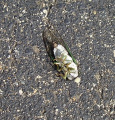 paralyzed cicada