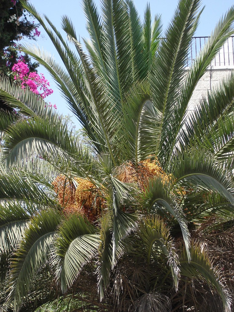 Palm tree and dates