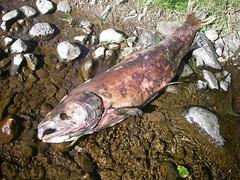 Stinking Salmon