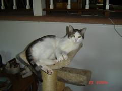 Sami the formerly feral cat (catmandu66) Tags: cat graycat