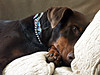 he's in surgery again - UPDATE # 2 (Doggies Are From Heaven) Tags: rescue dog surgery zeus doberman zooie
