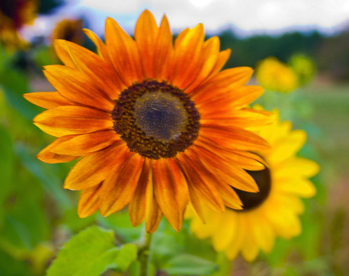 Orange SunFlower  by you.