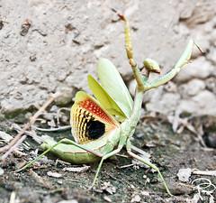 Praying Mantis giving me Crazy Eye (Phae) Tags: california bug mantis insect wings praying prayingmantis