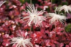 チングルマの綿毛と紅葉