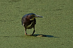 Green Heron (My Name is Merle) Tags: duckweed greenheron andlotsofit heronhaven iwasshootingthisguy andhedisappearedinaninstant didntseeitagain