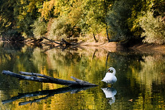 I know its a kitch photo but i just had to take it when I saw it (!Shot by Scott!) Tags: birthday lake water scott swan pond log champagne sony lewis australia peanuts banana photograph chase bling alpha 700 slippers goldenhour mlb allrightsreserved nohdr plentyoffish scottlewis cashforclunkers yahoosearchtags randontagstoseeifitaffectsmystats youdonthavetocanon