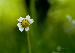 .Good Morning. (.krish.Tipirneni.) Tags: park morning india white flower green nature beauty yellow early nikon dof bokeh good small ap simplicity popup hyderabad goodmorning simple 18200 vr hpc krish hyd andhrapradesh naturesfinest kittu rktnature sanjivayya