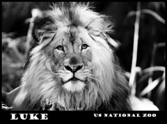 Luke!!! (Nikographer [Jon]) Tags: blackandwhite bw animal animals zoo washingtondc smithsonian dc washington lenstagged nikon october luke oct lion nationalzoo nikkor 2008 washdc d300 200400mm usnationalzoo nikond300 secretweapon1 20081005d30036093 ed200400mmf4gifvr