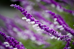purple flowers_0101