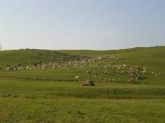 Transumanza pecore Pennar Asiago (Luca Mosele) Tags: asiago pecore transumanza pennar