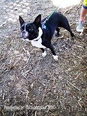 Max being Tuff (phil_sidenstricker) Tags: dog cute blackwhite canine tuff donotcopy crystalaward stunningplanetearth valleyofthesunphoenixmetro upcoming:event=981998 southmountainfarmphoenixazusa