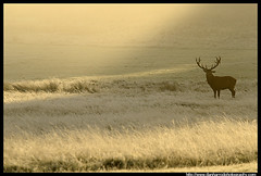 Red Deer at Sunrise (Dan Harrod) Tags: uk morning autumn trees sun mist fall grass silhouette sunrise dawn nikon reddeer richmondpark d300 bellow nikon80400mm reddeerrut britishwildlifeandnature