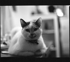 Chloe (absencesix) Tags: november usa pets film nature animals mediumformat illinois 645 unitedstates chloe domestic northamerica evanston 2008 locations unknowncamera 0mm zenzabronica iso0 geo:state=illinois unknownlens mediumformat6x45 geo:city=evanston kodakbw400cnprofessional hasmetastyletag hascameratype selfrating0stars unknownflash november32008 hasfilmtype unknownexposure haleymontgomerysapartment geo:countrys=usa subjectdistanceunknown unknownmode evanstonillinoisusa