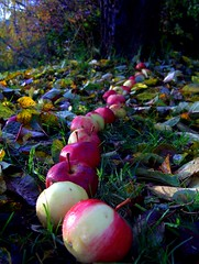 Show me the way (FriaLOve) Tags: red macro green apple nature finland way delicious leafs appletree ruovesi frialove
