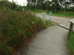 爆仗竹 (minghong) Tags: avalade russeliaequisetiformis coralplant