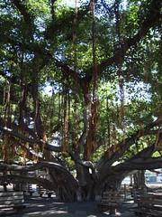 giant banyan tree in lahaina (reddawg31) Tags: hawaii lahaina banyantree