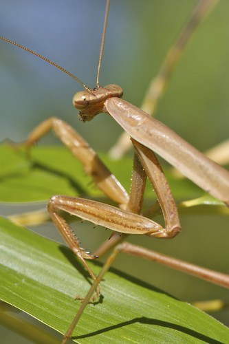 Wary Praying Mantis