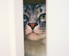 """Why So Serious?"" (Amanda) Tags: door portrait pet film animal cat nose grey feline serious peekaboo manly shy center headshot hideandseek orphan whiskers greeneyes mainecoon hiding staring cateyes nikonfe catmoments"
