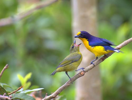 [フリー画像] 動物, 鳥類, スズメ目, カップル (動物), スミレフウキンチョウ, 201004220500