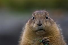 Huh? ((Erik)) Tags: hotdog fluffy prairiedog huh rodents cynomys erikphotography