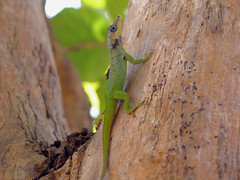 Anolis (S_Crews) Tags: island reptile lizard barbados caribbean herp anolis iguania squamate lesserantilles polychrotidae anolisextremus dactyloidae