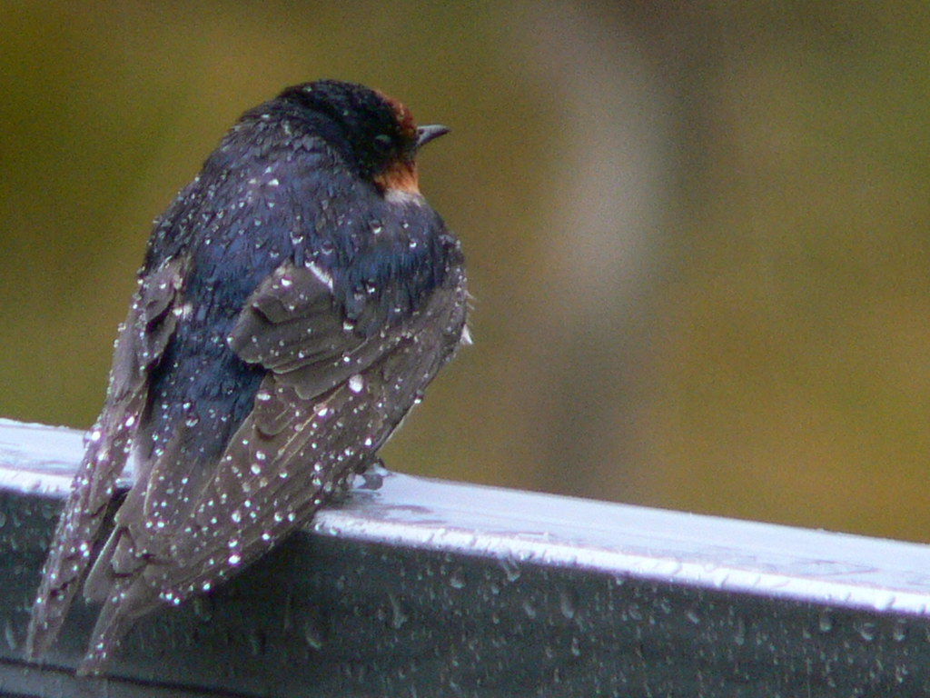 Resident Swallow
