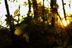 fallen light (Js) Tags: autumn light sunlight green fall leaves wednesday evening afternoon bokeh 85mm ravine 85mmf18d hbw naturey
