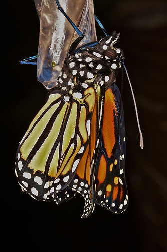 Hatching monarch butterfly