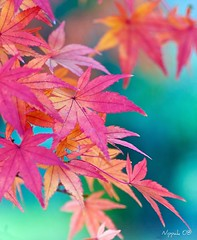 Japanese Canvas (nippak) Tags: autumn red fall nature colors leaves japanese momiji  koyo natuer showakinenkoen