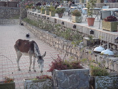 a visitor too (tango 48) Tags: pakistan flower stone wall chairs donkey pot tables flowerpot stonewall islamabad pir pirsohawa sohawa