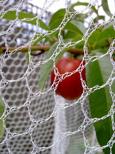 Ripening nectarine