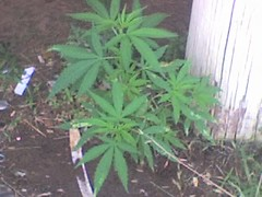 Porch Monkey (morganMCCRACKEN) Tags: weed marijuana maryjane ganja mineralwells porchmonkey mrjims