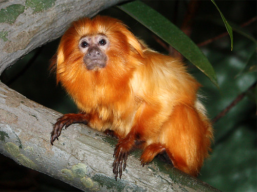 This is a Lion Tamarin.Its scientific name is Leontopithecus rosalia.