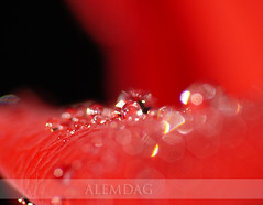 diamonds ( alemdag ) Tags: portrait macro rose turkey landscape action bokeh trkiye turkiye diamond panasonic gl makro mavi mehmet trabzon yeil sar fz50 sanat fotoraf raynox krmz doa renkler alemda alemdag elmas turuncu tutku flickrsbest fantasticflower platinumphoto theunforgettablepictures lumixaward thebestvivid mehmetalemda goldenheartaward 100commentgroup grouptripod